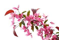 цветение яблока Стоковое Фото