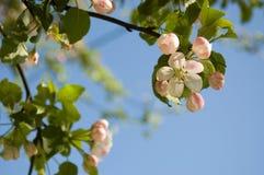цветение яблока Стоковые Фотографии RF