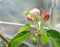 Цветение Яблока sylvestris яблони Смита бабушки под пластичным шатром 2 Стоковое фото RF