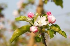 Цветение яблони в саде стоковое фото rf