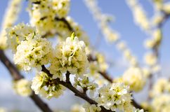 Цветение яблони на голубом небе стоковые фото
