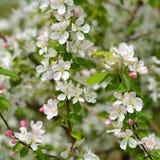 Цветение Яблока весны Стоковая Фотография RF