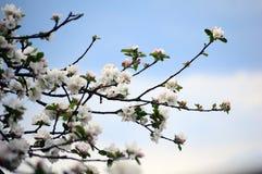 Цветение Яблока на предпосылке голубого неба Стоковое Фото