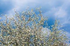 Цветение Яблока против неба шторма Стоковые Изображения