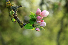 Цветение Яблока. Стоковые Фото