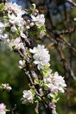 Цветение Яблока. Стоковые Фотографии RF