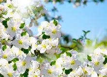 Цветение Яблока Стоковое Изображение