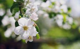 Цветение Яблока Стоковая Фотография