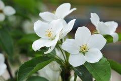 Цветение яблони Стоковое Фото