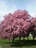 Цветение яблонь Стоковые Фото