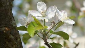 цветение Стоковые Фотографии RF