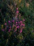 Цветение angustifolium кипрея fireweed чая Ивана травы вербы полностью стоковая фотография rf