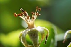 Цветение Appletree Стоковое Изображение