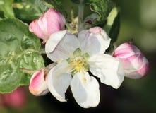 цветение appletree Стоковые Фото