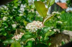 Цветение Aronia Стоковое Фото