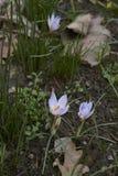 Цветение biflorus крокуса стоковая фотография