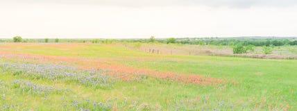 Цветение Bluebonnet Техаса и индийского paintbrush в сельском Техасе, u Стоковая Фотография RF