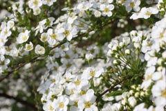 цветение bridal Стоковые Фото