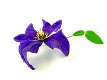 Цветение Clematis Стоковое Изображение
