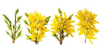 Цветение Forsythia Весна цветет белая предпосылка Стоковые Фотографии RF