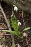 Цветение galanthus Snowdrop Стоковое Изображение RF