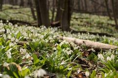 Цветение galanthus Snowdrop Стоковые Изображения RF