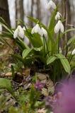 Цветение galanthus Snowdrop Стоковое Изображение