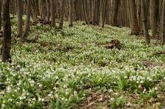 Цветение galanthus Snowdrop Стоковое фото RF