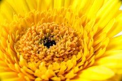 Цветение Gerbera Стоковое Изображение