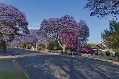 Цветение Jacaranda весной Стоковое фото RF