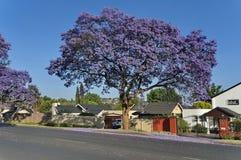 Цветение Jacaranda весной Стоковые Фотографии RF