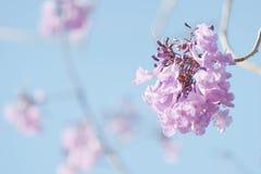 Цветение Jacaranda Стоковое Фото