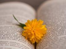 Цветение japonica Kerria в открытой книге Стоковые Фото