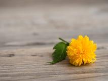 Цветение japonica Kerria Стоковое Изображение RF