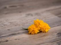 Цветение japonica Kerria Стоковое Изображение