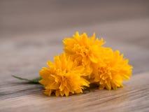 Цветение japonica Kerria Стоковая Фотография