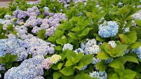 Цветение Kawaguchiko Стоковое Изображение RF