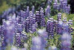 Цветение Lupine Стоковые Изображения