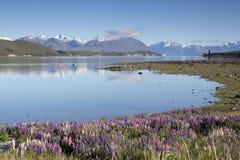 Цветение Lupines на озере Tekapo, Новой Зеландии Стоковые Фото