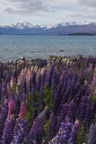 Цветение Lupines на озере Tekapo, Новой Зеландии Стоковые Фотографии RF