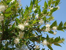 Цветение Myrtus Стоковое Изображение RF