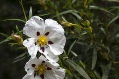 Цветение rockrose камеди Стоковые Фотографии RF
