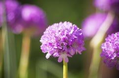 Цветение scabiosa василёка Стоковое фото RF