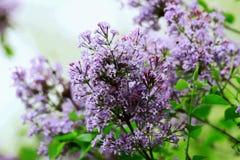 Цветение Syringa Linn Стоковые Изображения