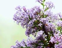 Цветение Syringa Linn Стоковое фото RF