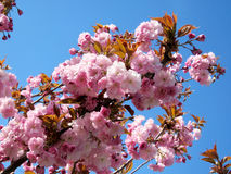 Цветение 2017 Thornhill красивое Сакуры Стоковое фото RF
