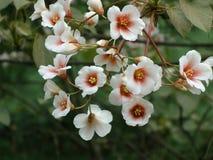Цветение Tung Стоковые Фото