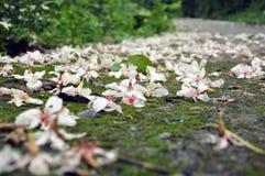 Цветение Tung стоковое фото rf