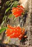 Venusta Pyrostegia Стоковые Фото