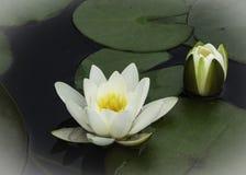 Цветение Waterlilies белого лотоса Стоковые Изображения RF